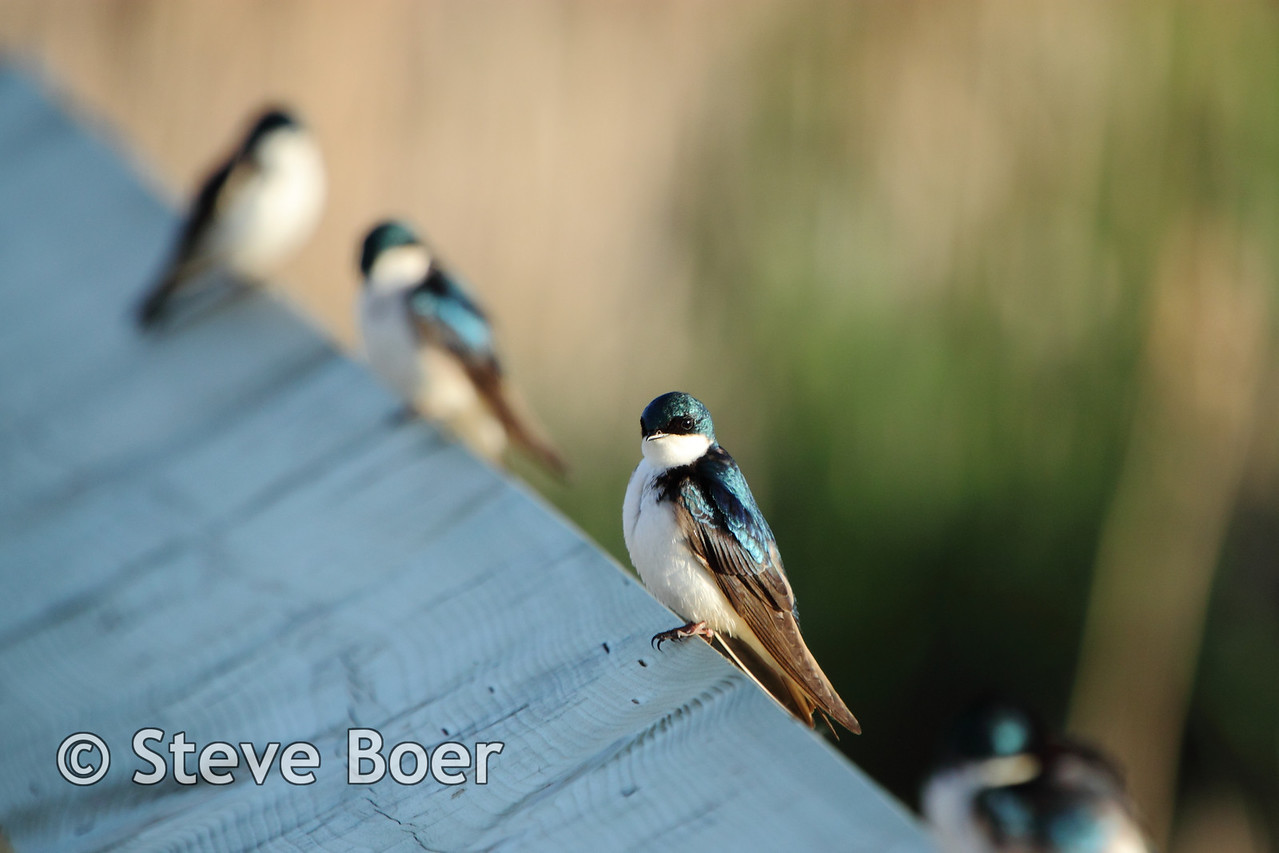 Line of Tree Swallows